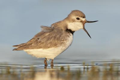 Wrybill (Anarhynchus frontalis) standing shallow water with beak wide open. Lake Ellesmere