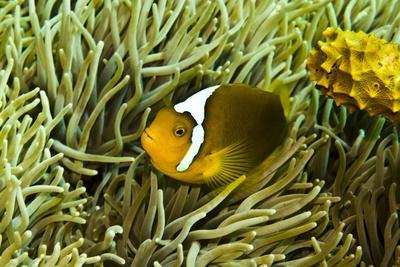 https://imgc.allpostersimages.com/img/posters/anemonefish-unusual-hybrid-only-seen-in-the-png_u-L-Q106IQ00.jpg?p=0