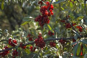 Close Up of Edible Berries. North Dakota, USA by Angel Wynn