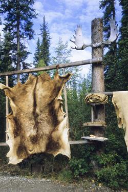 Elk Hide over Wooden Rack for Easy Scraping and Tanning. Alaska by Angel Wynn