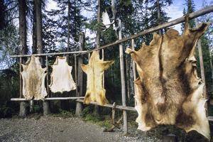 Hides Stretched over Wooden Racks for Tanning. Alaska (PR) by Angel Wynn