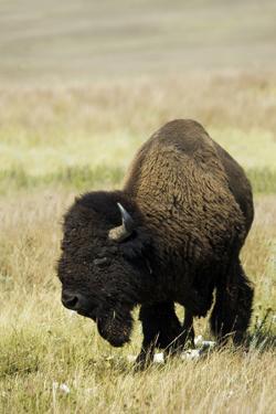 Portrait of American Bison Grazing in the Grasslands, North Dakota by Angel Wynn
