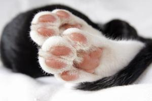 Domestic Cat, black and white kitten, close-up of paws by Angela Hampton