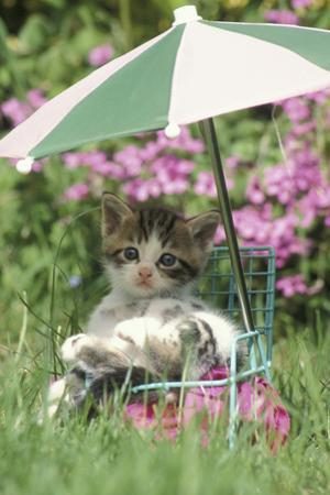 Domestic Cat, kitten sitting on miniature sun lounger under umbrella in garden by Angela Hampton