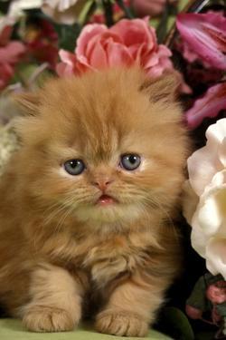 Domestic Cat, Persian, ginger kitten amongst flowers by Angela Hampton