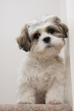 Domestic Dog, Shih Tzu, puppy, sitting on carpet at top of staircase by Angela Hampton