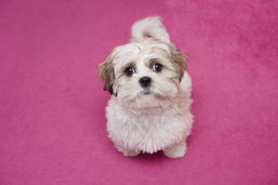 Domestic Dog, Shih Tzu, puppy, sitting on pink carpet by Angela Hampton