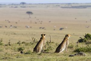 Two Cheetah Watching Animals, Masai Mara, Kenya by Angelika
