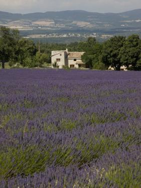 Lavender Fields, Sault En Provence, Vaucluse, Provence, France, Europe by Angelo Cavalli