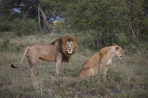 Male and Female Lions (Panthera Leo), Masai Mara National Reserve, Kenya, East Africa, Africa by Angelo Cavalli