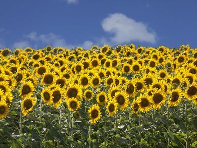 Sunflowers in Tuscany, Italy, Europe