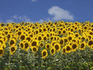 Sunflowers in Tuscany, Italy, Europe by Angelo Cavalli