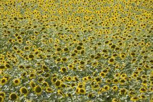 Sunflowers, Provence, France, Europe by Angelo Cavalli