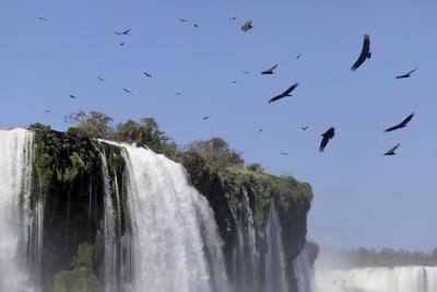 Black Vultures (Coragyps Atratus) In Flight Over Iguazu Falls
