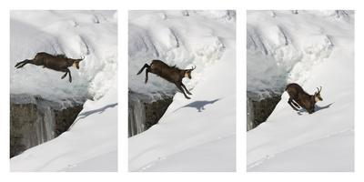 Chamois (Rupicapra Rupicapra) Jumping over Crevasse in the Snow, Abruzzo National Park, Italy