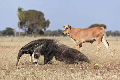 Giant Anteater (Myrmecophaga Tridactyla) Walking In Front Of Domestic Cattle, Pantanal, Brazil