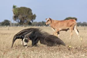 Giant Anteater (Myrmecophaga Tridactyla) Walking In Front Of Domestic Cattle, Pantanal, Brazil by Angelo Gandolfi