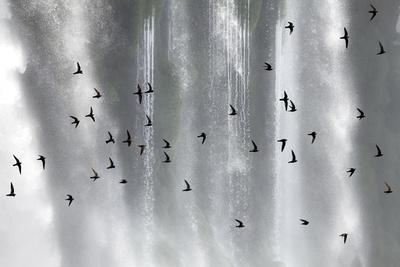 Great Dusky Swift (Cypseloides Senex) Flock In Front Of Iguazu Falls