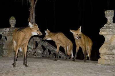 Maned Wolves (Chrysocyon Brachyurus) At Santurio Do Caraca, Where They Are Fed, At Night