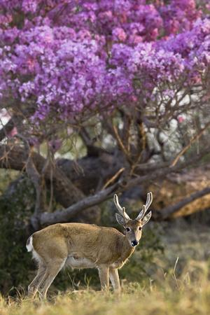 Pampas Deer (Ozotoceros Bezoarticus) Buck In Velvet Standing By Flowering Tree, Pantanal, Brazil