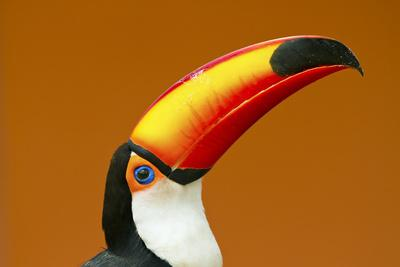 Toco Toucan (Ramphastos Toco) Head And Beak Profile Portrait, Brazil