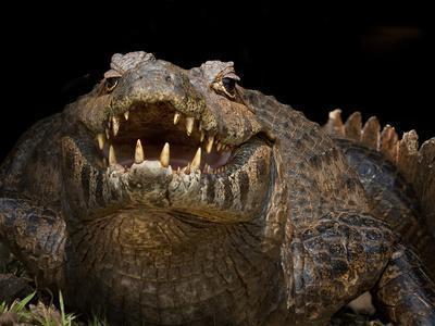 Yacare Caiman (Caiman Yacare) With Mouth Open To Keep Cool, Pantanal, Brazil