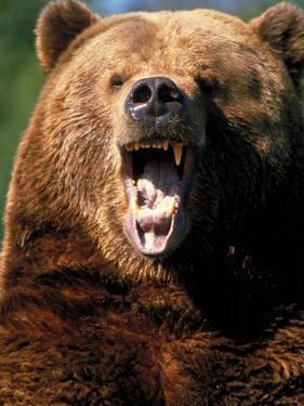 Angry Brown Bear Growling and Showing Teeth
