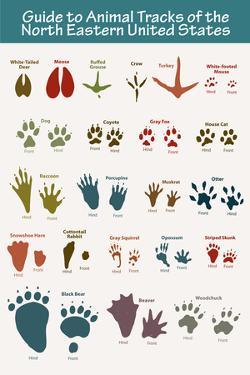 Animal Tracks of the North Eastern United States