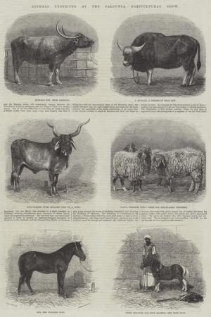 https://imgc.allpostersimages.com/img/posters/animals-exhibited-at-the-calcutta-agricultural-show_u-L-PVWKID0.jpg?p=0