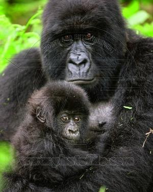 Animals Gorillas