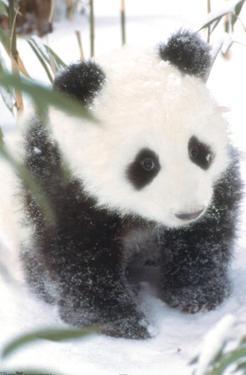 Animals - Panda in the Snow