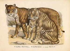 Animaux d'Afrique, Tigre