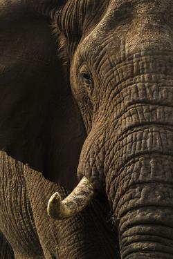 African elephant bull (Loxodonta africana), Zimanga private game reserve, KwaZulu-Natal by Ann and Steve Toon