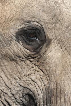 African Elephant Eye (Loxodonta Africana), Addo Elephant National Park, South Africa, Africa by Ann and Steve Toon