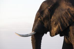 African elephant (Loxodonta africana), Chobe National Park, Botswana, Africa by Ann and Steve Toon