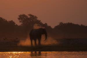 African elephant (Loxodonta africana) dusting at sunset, Chobe National Park, Botswana by Ann and Steve Toon