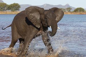 African elephant (Loxodonta africana) in water, Zimanga game reserve, KwaZulu-Natal by Ann and Steve Toon