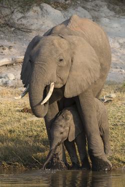 African elephant (Loxodonta africana) with calf drinking, Chobe National Park, Botswana by Ann and Steve Toon