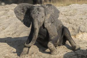 African elephant (Loxodonta africana) young rubbing, Chobe National Park, Botswana by Ann and Steve Toon