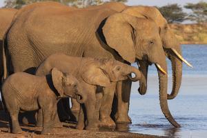 African elephants (Loxodonta africana) drinking, Zimanga game reserve, KwaZulu-Natal by Ann and Steve Toon