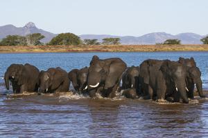 African elephants (Loxodonta africana) in water, Zimanga game reserve, KwaZulu-Natal by Ann and Steve Toon
