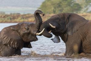 African elephants (Loxodonta africana) playfighting in water, Zimanga game reserve, KwaZulu-Natal by Ann and Steve Toon