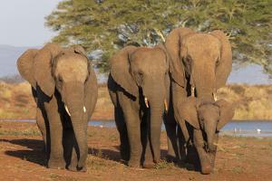 African elephants (Loxodonta africana), Zimanga game reserve, KwaZulu-Natal by Ann and Steve Toon