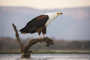 African fish eagle (Haliaeetus vocifer), Zimanga private game reserve, KwaZulu-Natal, South Africa, by Ann and Steve Toon