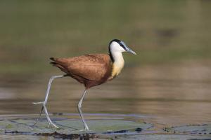 African jacana (Actophilornis africanus), Chobe River, Botswana by Ann and Steve Toon