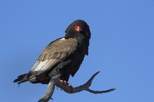 Bateleur (Terathopious ecaudatus) female, Kgalagadi Transfrontier Park, South Africa, Africa by Ann and Steve Toon
