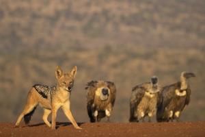 Blackbacked jackal (Canis mesomelas), Zimanga private game reserve, KwaZulu-Natal by Ann and Steve Toon