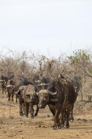 Cape buffalo (Syncerus caffer) herd, Kruger National Park, South Africa, Africa by Ann and Steve Toon