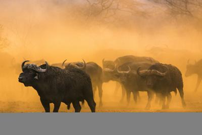 Cape buffalo (Syncerus caffer) herd, Zimanga private game reserve, KwaZulu-Natal, South Africa, Afr by Ann and Steve Toon
