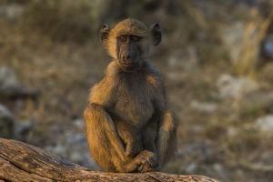 Chacma baboon (Papio ursinus), Chobe National Park, Botswana by Ann and Steve Toon